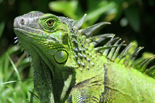 http___media.petsblog.it_c_cf1_iguana-verde